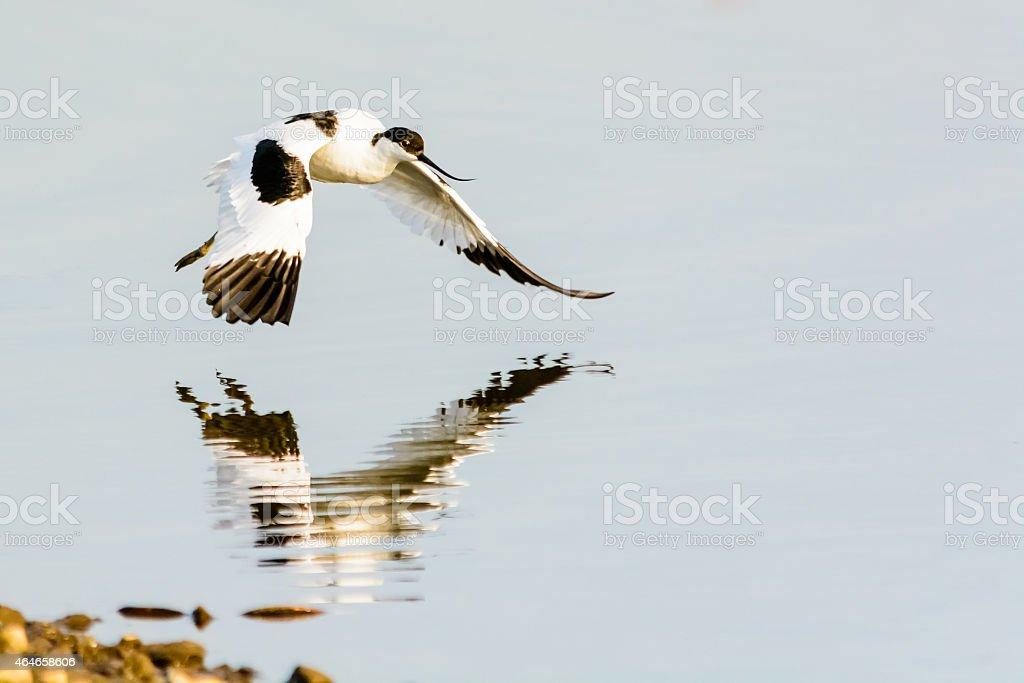 Avocet (Recurvirostra avosetta) in Flight Over Water with Reflection stock photo