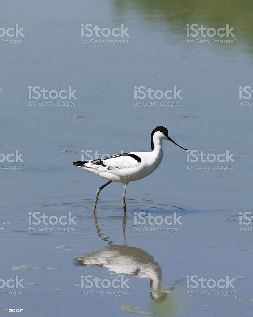 Avocet (Recurvirostra avosetta) stock photo
