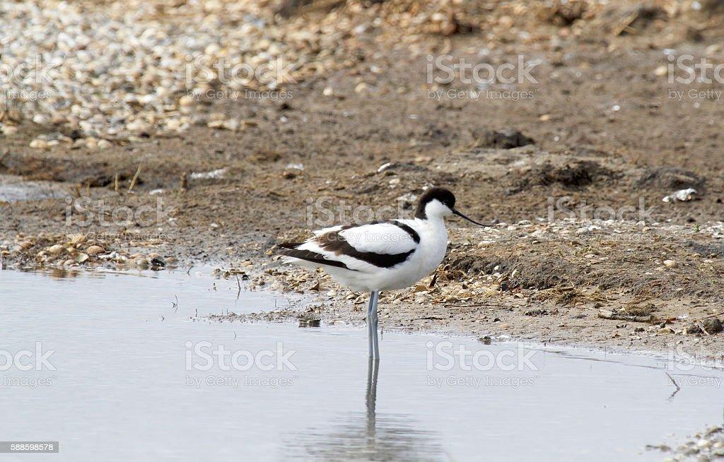 Avocet (Recuvirostra avosetta) stock photo