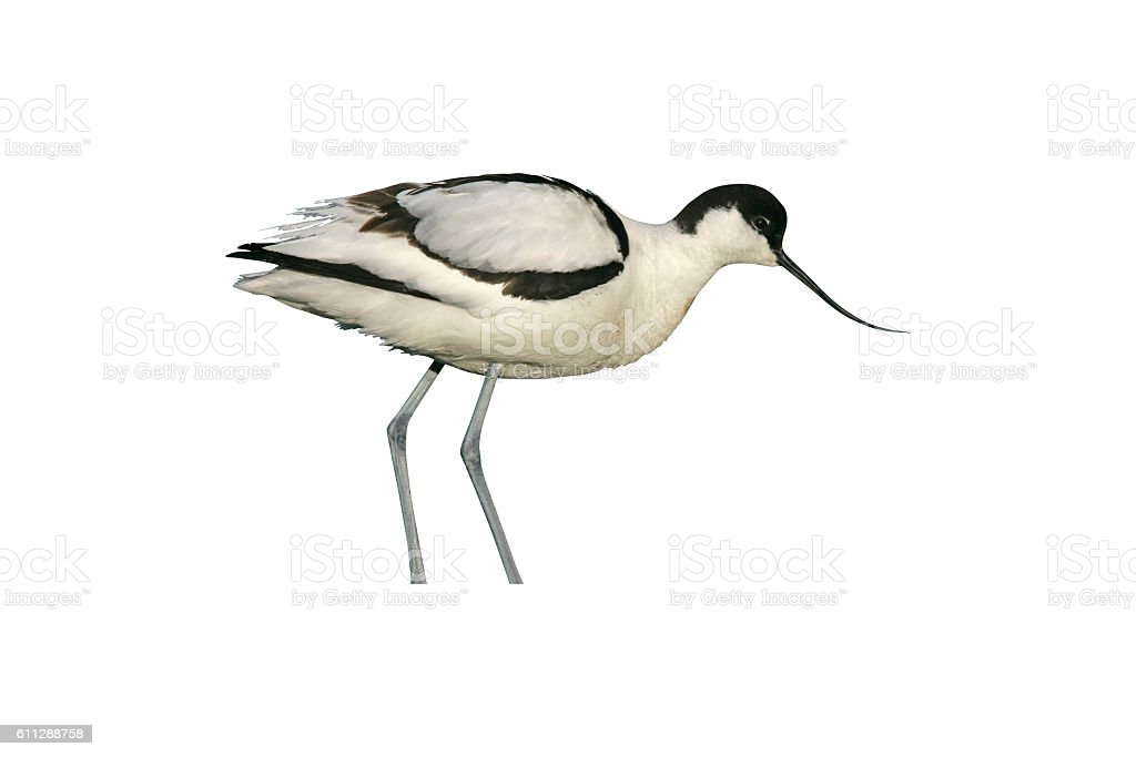 Avocet, Recurvirostra avosetta stock photo