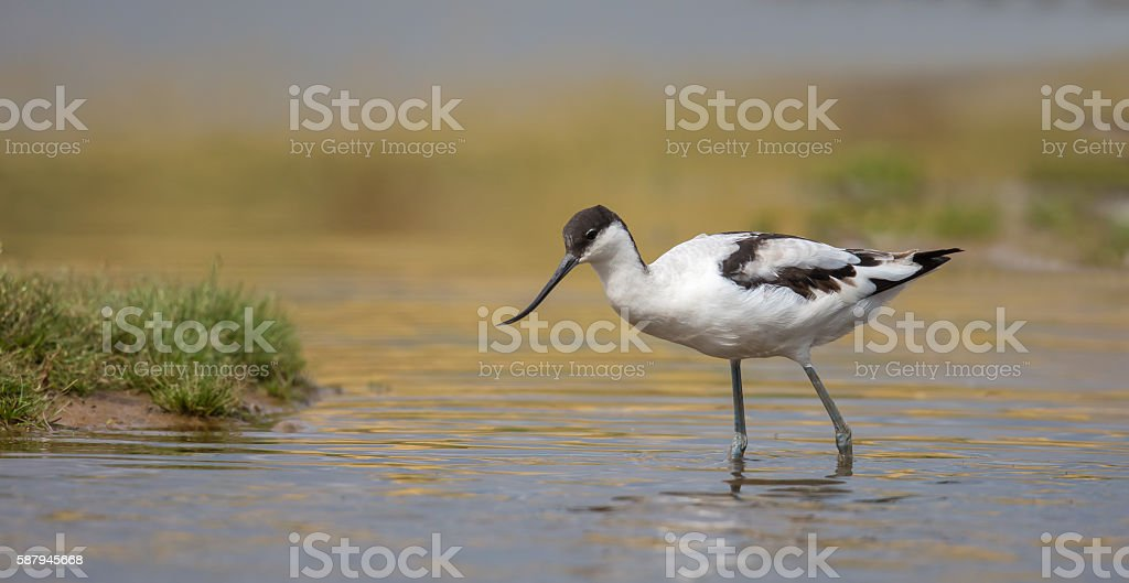 Avocet wading in water stock photo