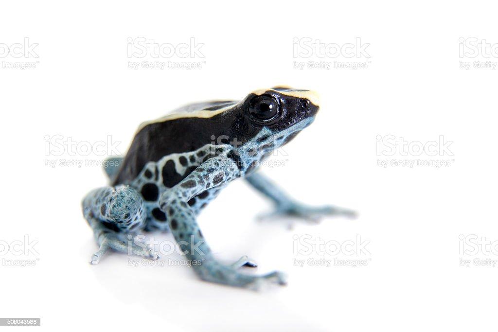 Awarape Dyeing Poison dart frog, Dendrobates tinctorius, on white stock photo