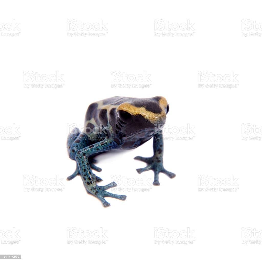 Awarape Dyeing Poison dart frogling, Dendrobates tinctorius, on white stock photo