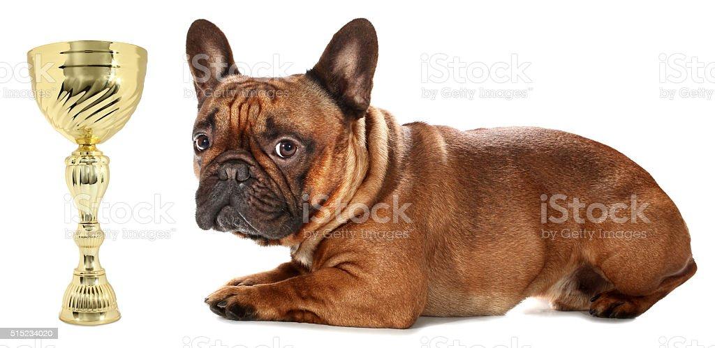 Awarded French Bulldog is lying wild golden trophy stock photo
