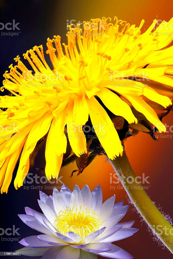Awesome thistle & lotos  flowers stock photo