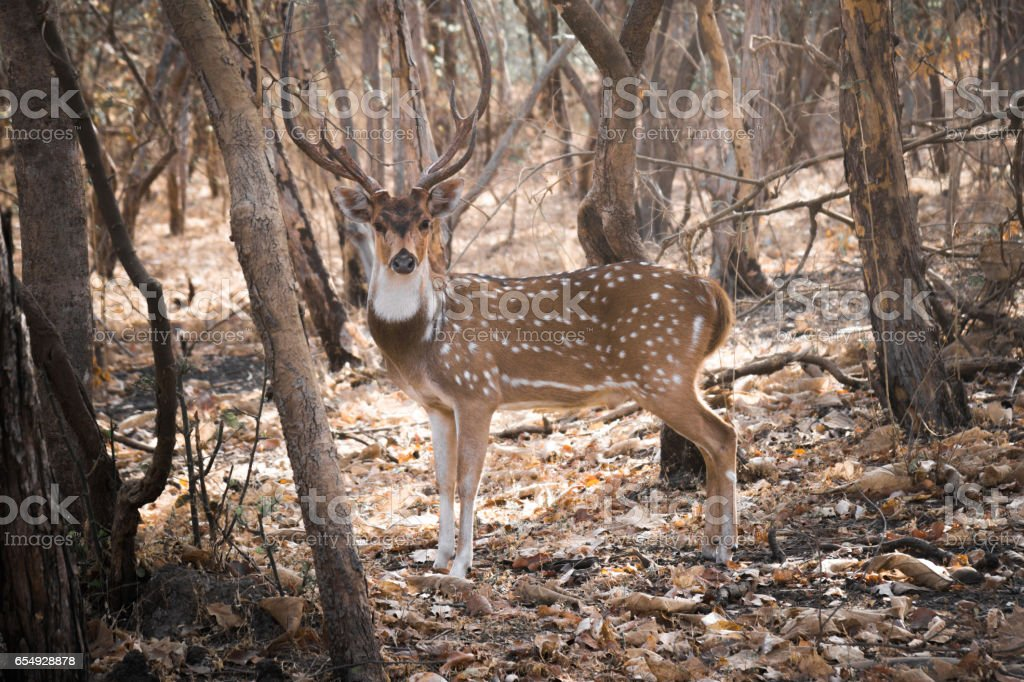 Axis Deer in the Wild 1 stock photo