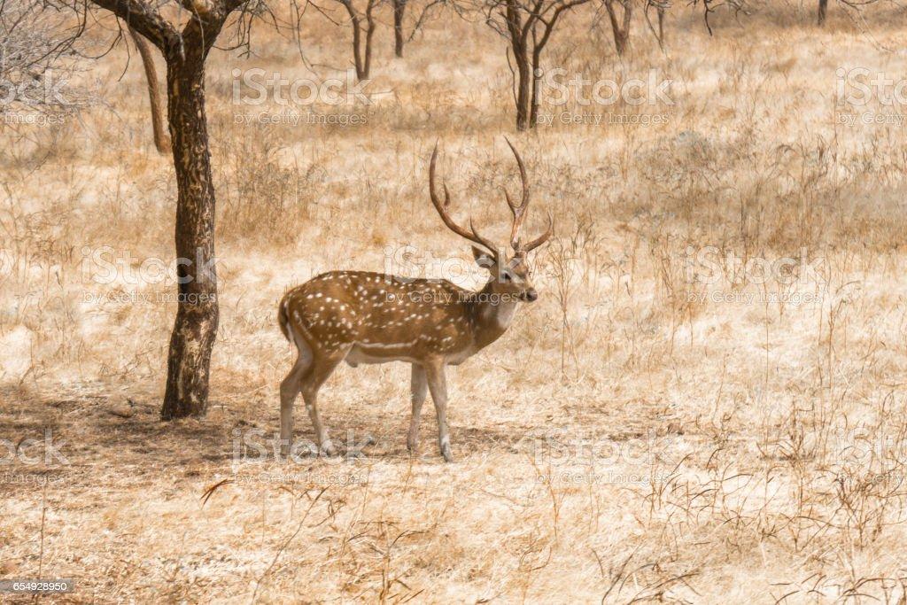 Axis Deer in the Wild 2 stock photo