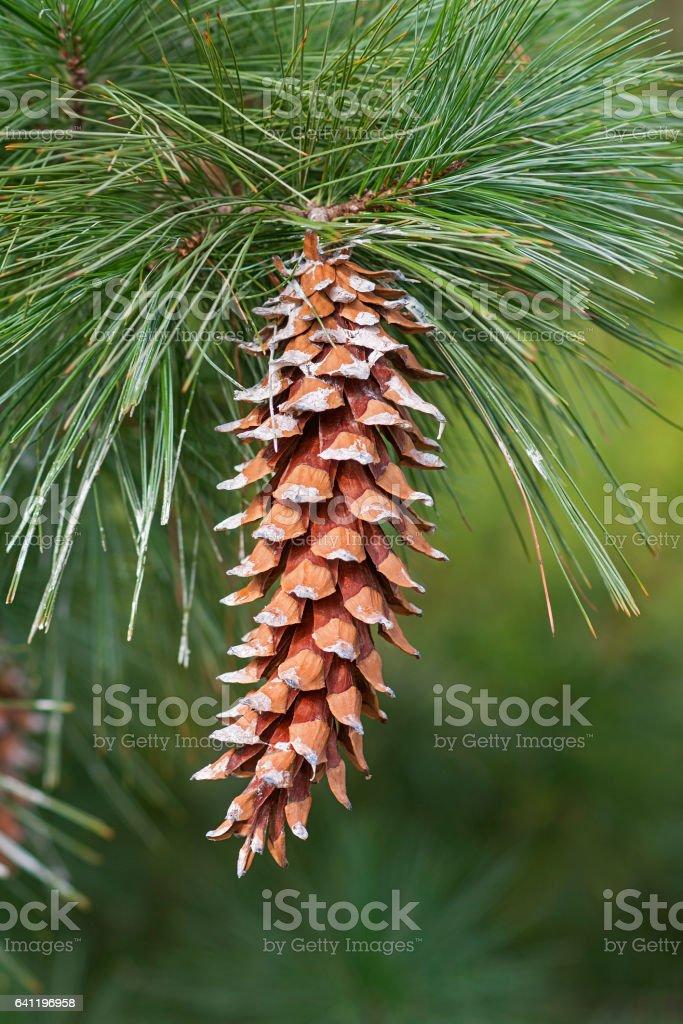 Ayacahuite pine cone stock photo