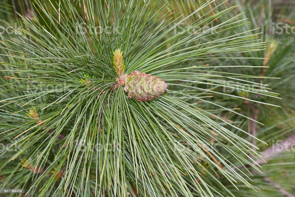 Ayacahuite pine young cone stock photo