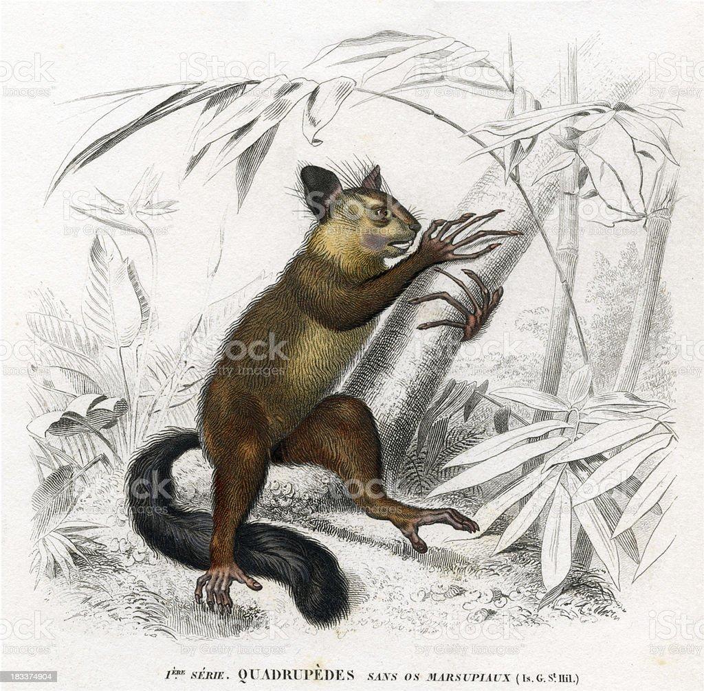 aye-aye, marsupial, squirrel, historic illustration 1849 stock photo