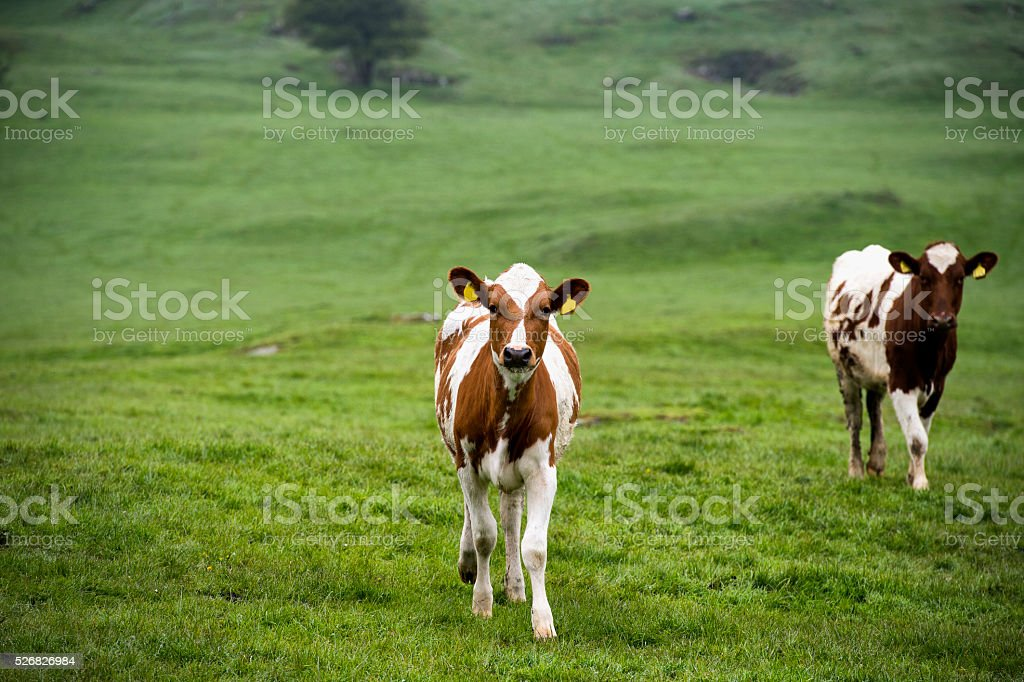Ayrshire calves standing in a field in Dumfries and Galloway stock photo