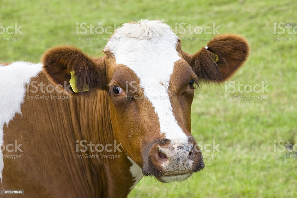 Ayrshire cattle stock photo