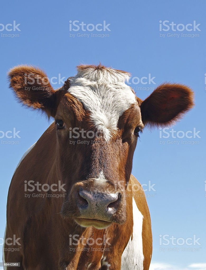 Ayrshire Cow Aginst a Blue Sky stock photo