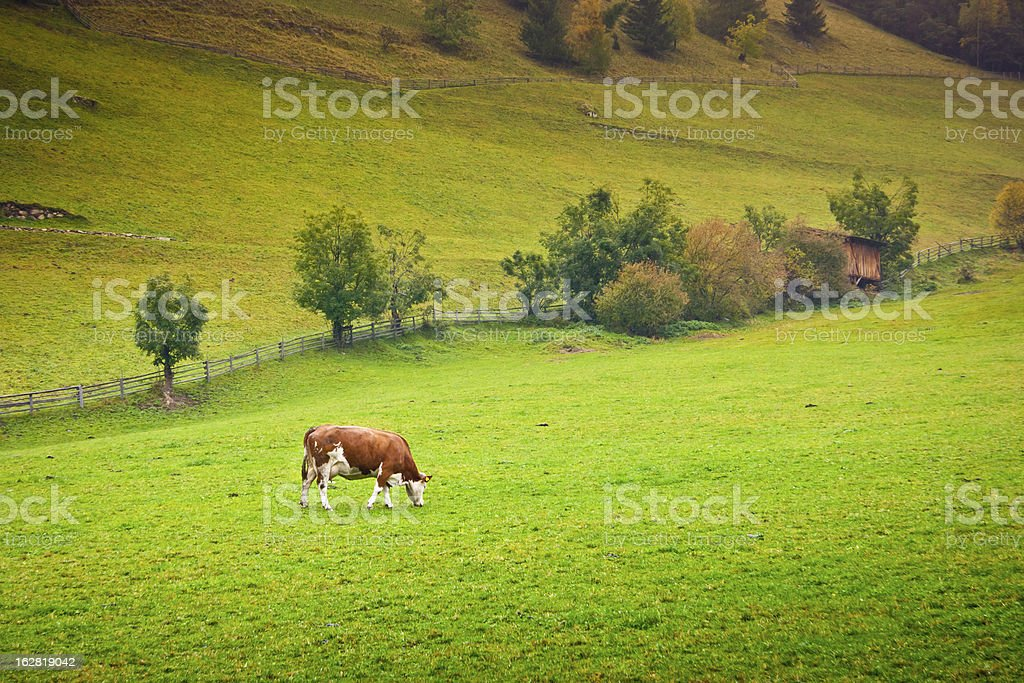 Ayrshire Cow royalty-free stock photo