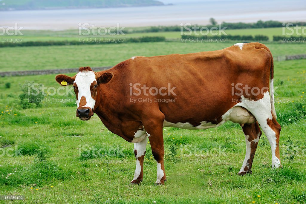 Ayrshire dairy cow standing in a field in rural Scotland stock photo