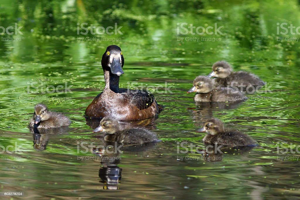 Aythya fuligula. A duck with ducklings in the Western Siberia stock photo