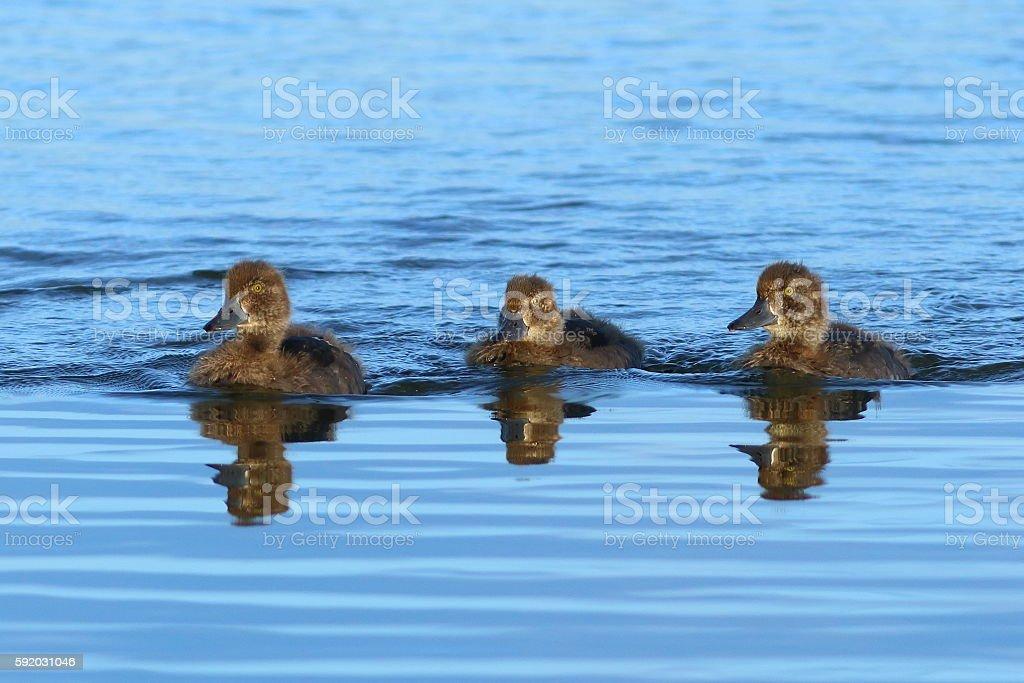 Aythya fuligula. Ducklings of  wild duck in the of Siberi stock photo