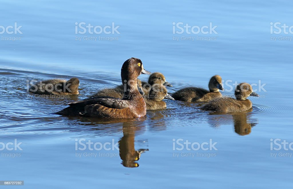 Aythya fuligula. Tufted duck with ducklings at evening light in stock photo