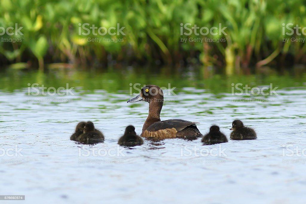 Aythya fuligula. Tufted duck with ducklings stock photo