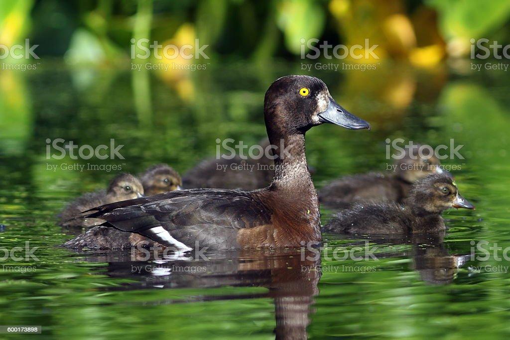 Aythya fuligula. Wild duck with ducklings close up stock photo