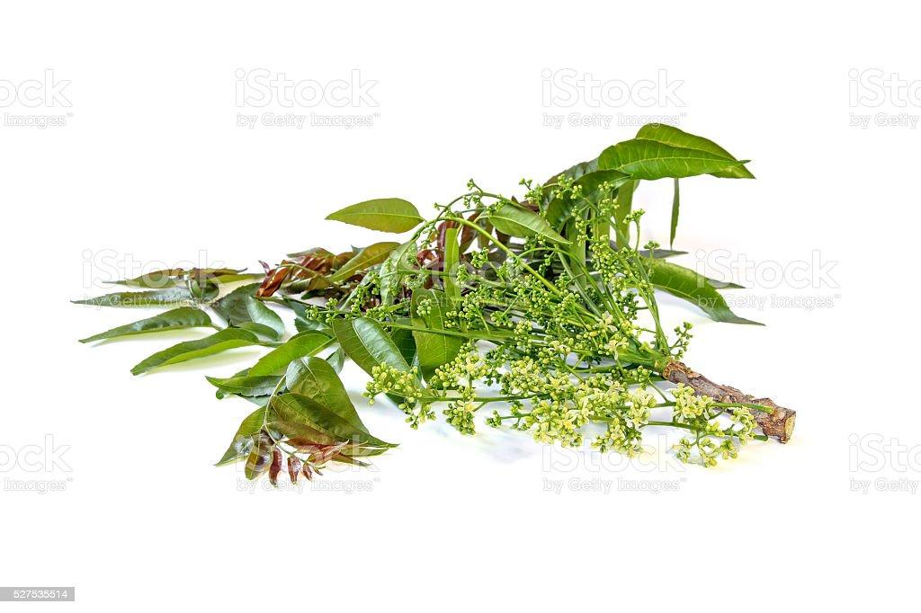 Azadirachta indica with flowers. stock photo