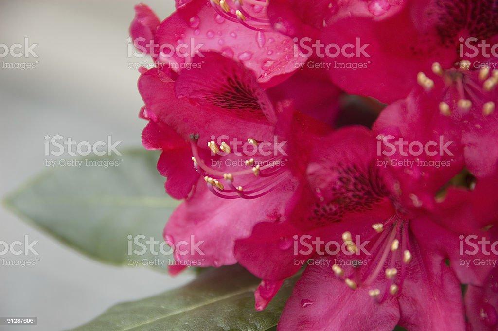 Azalea (rhododendron) after rain stock photo