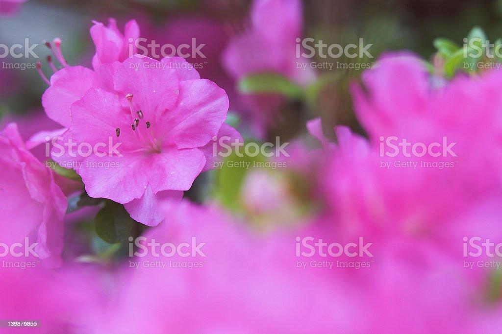 Azalea Bloom #1 stock photo