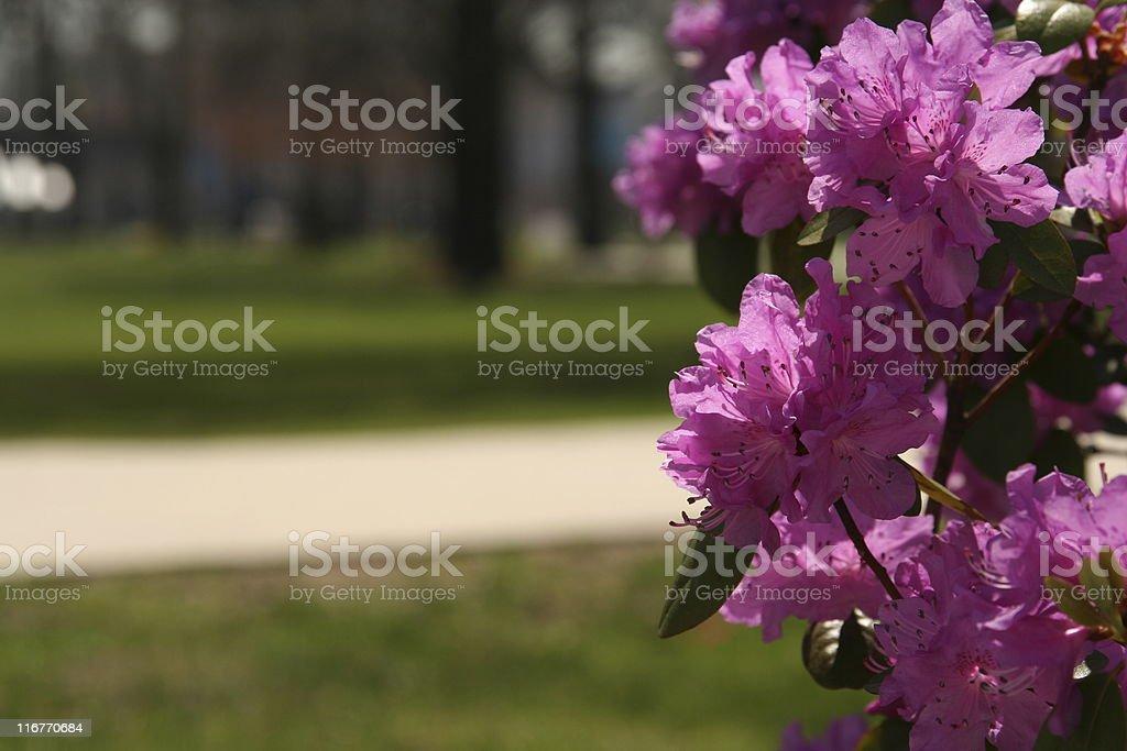 Azalea Bush Flowers stock photo