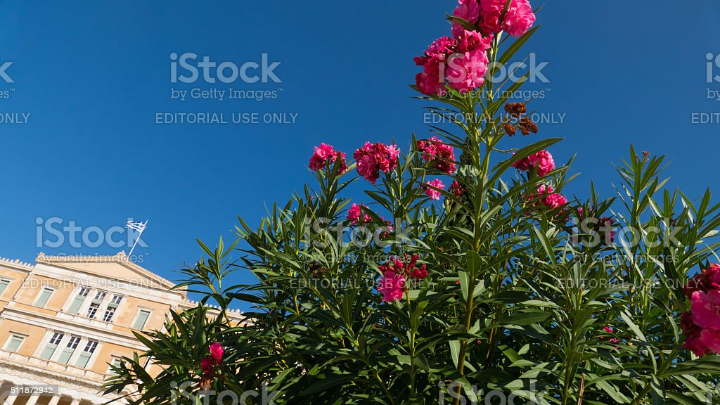 Azalea bush in front of the Old Royal Palace, Athens stock photo