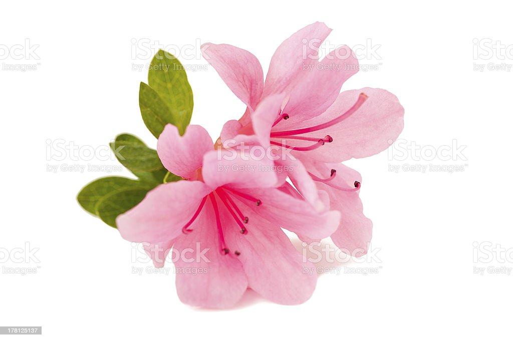 azalea flower stock photo