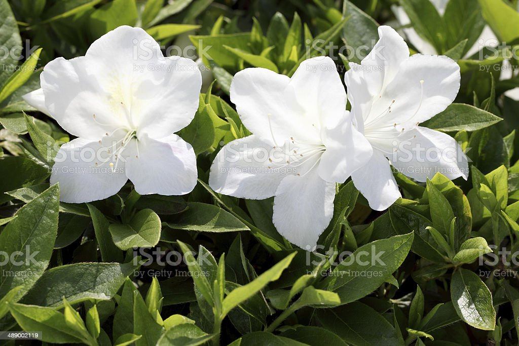 azalea flowers stock photo