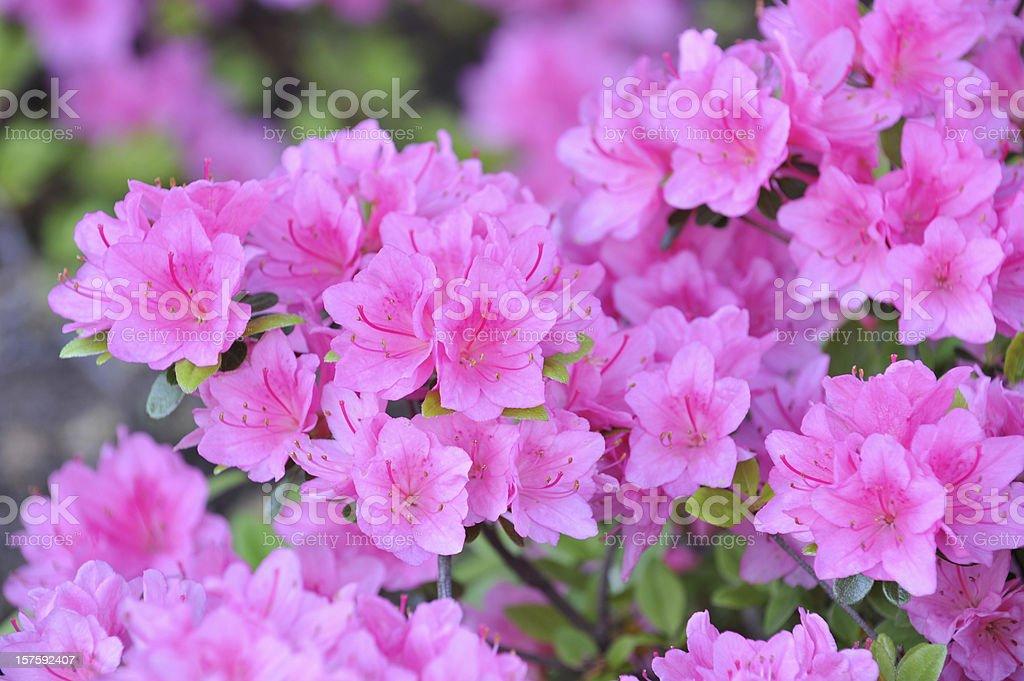 Azalea stock photo