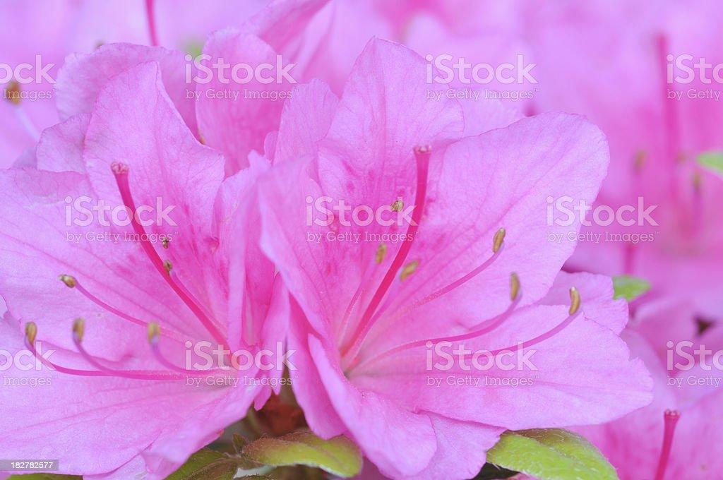 Azalea royalty-free stock photo