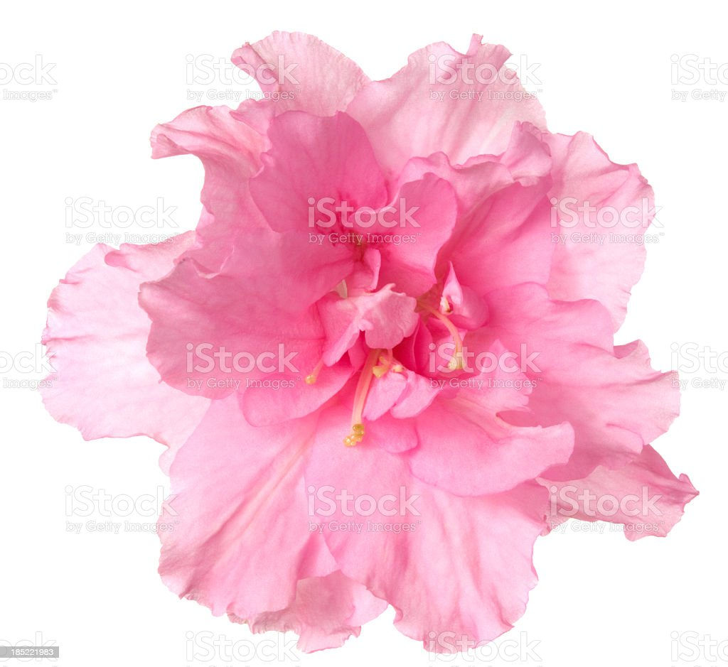 Azalea. stock photo