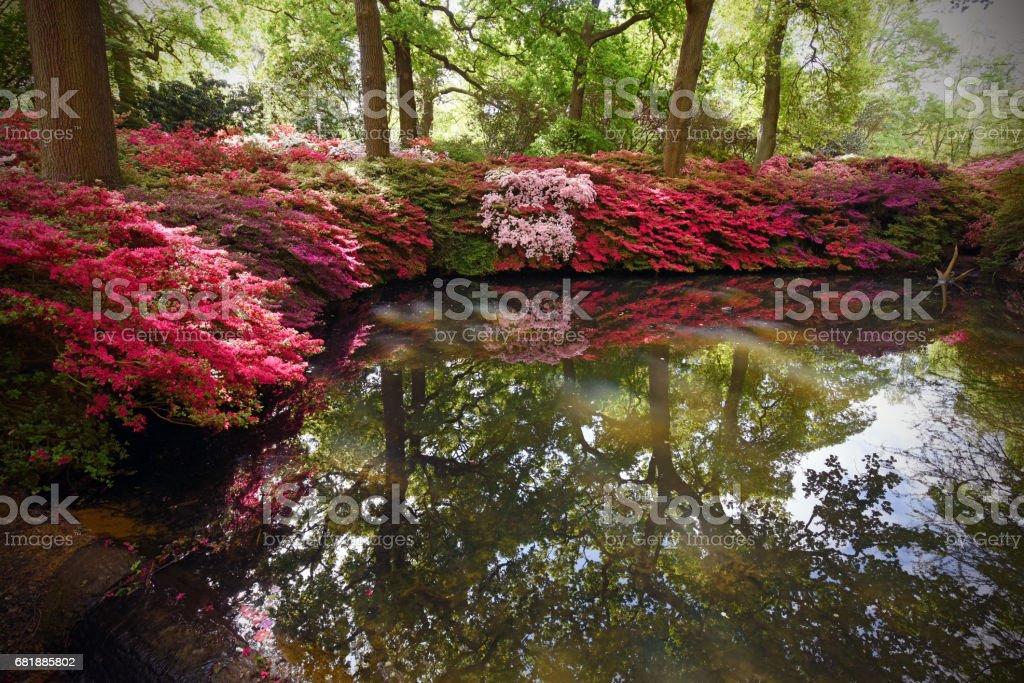 Azalea pond stock photo