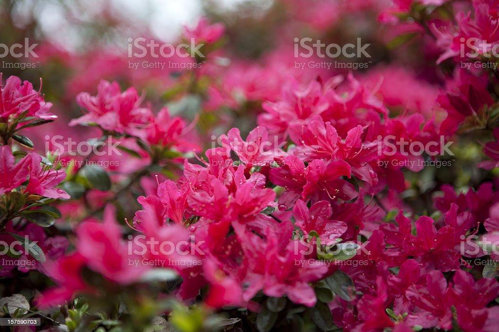 Azaleas in Bloom XXXL stock photo