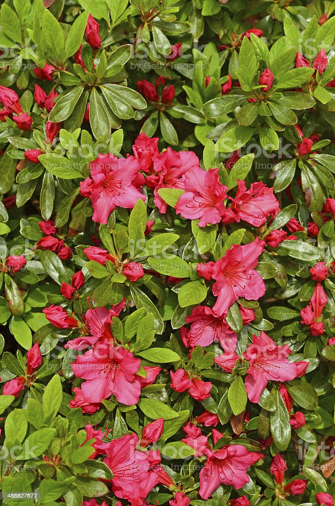 Azaleas in Spring stock photo