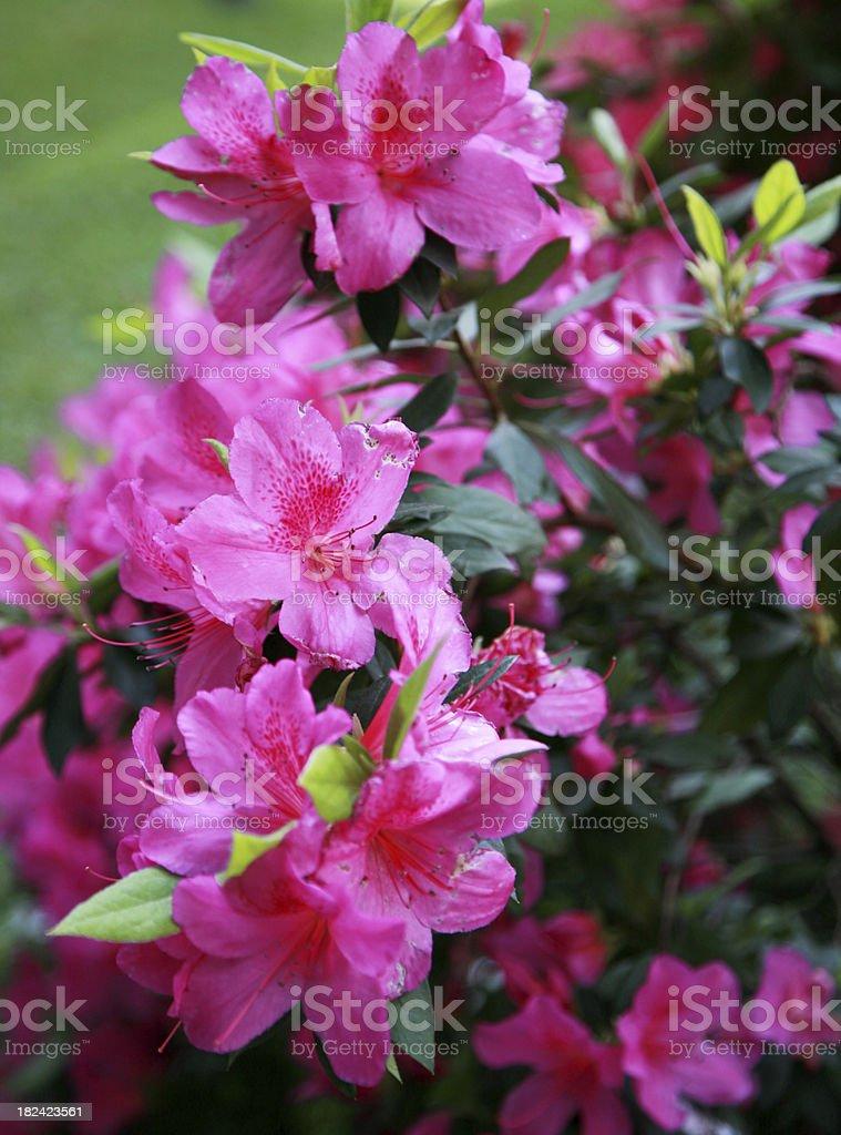 Azaleas royalty-free stock photo