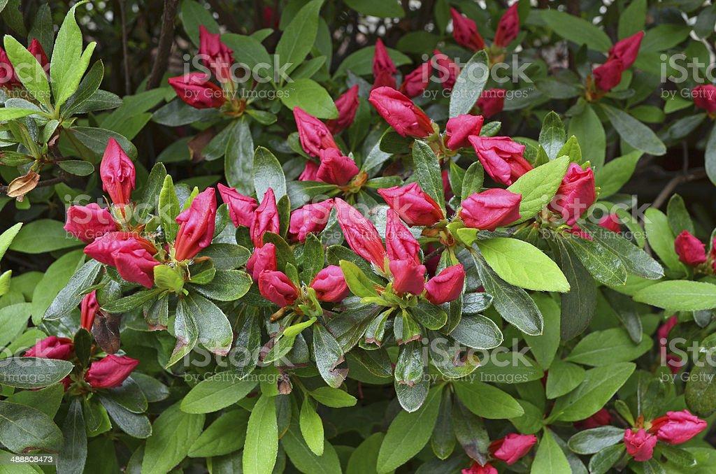Azaleas stock photo