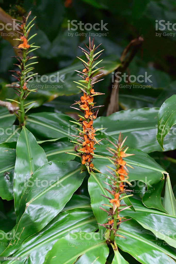Azores Ginger Lily in Bloom stock photo