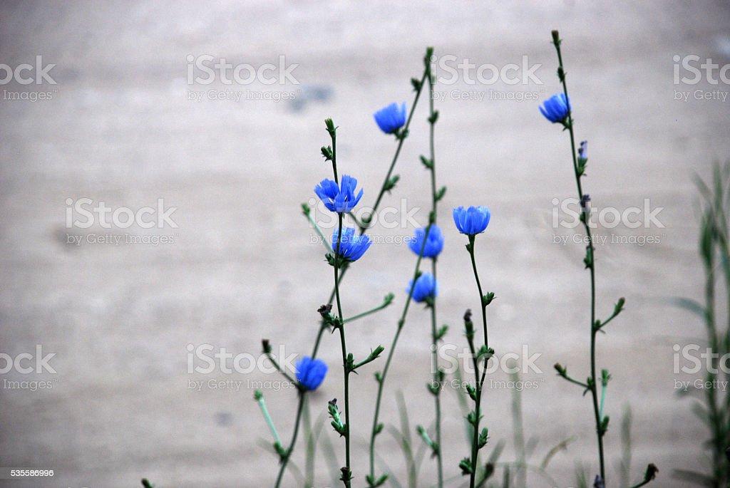 Azul silvestre stock photo