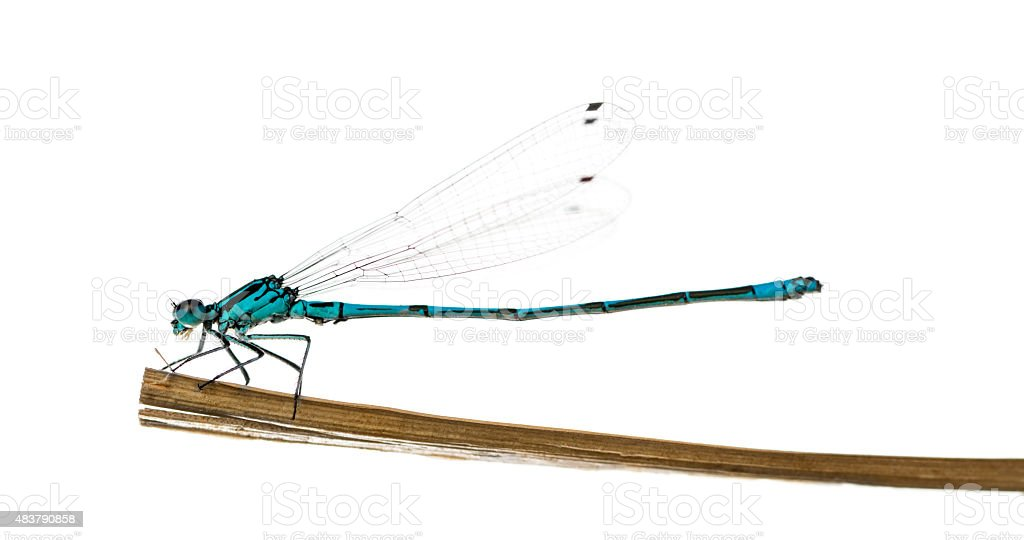 Azure damselfly, Coenagrion puella, on a straw stock photo