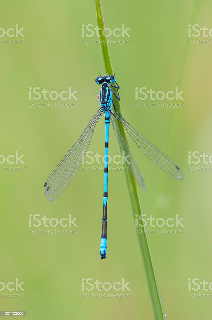 Azure Damselfly, Coenagrion puella stock photo