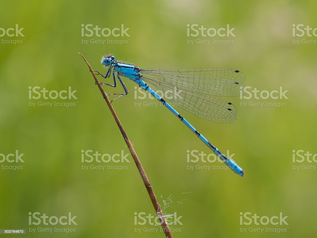 Azure damselfly on a blade of grass - Coenagrion puella stock photo