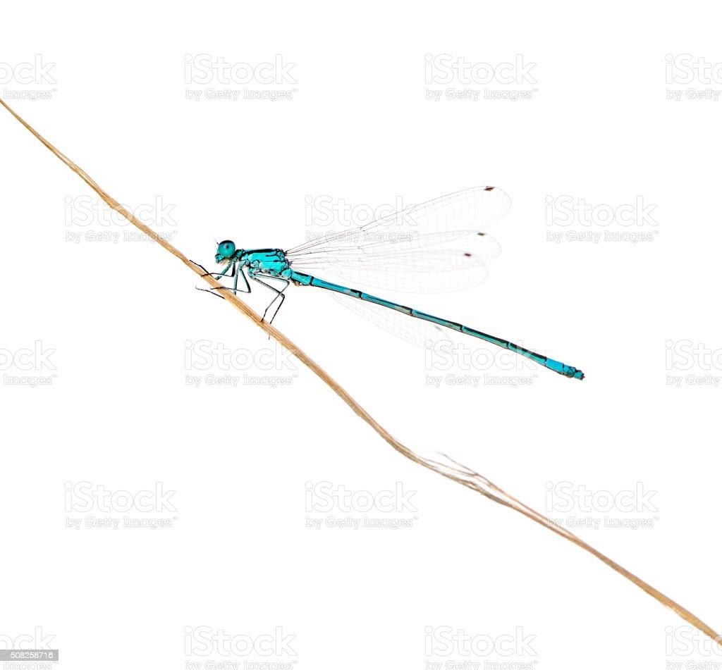 Azure damselfly on a twig stock photo