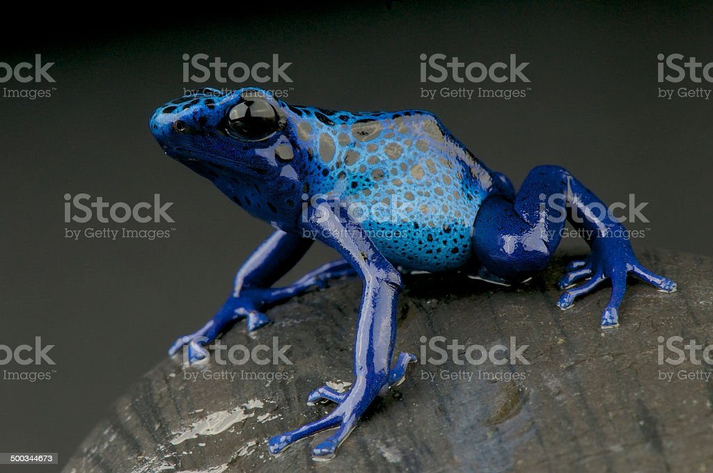 Azure dart frog / Dendrobates azureus stock photo