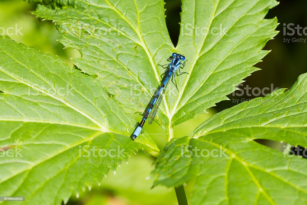 Azure dragonfly stock photo