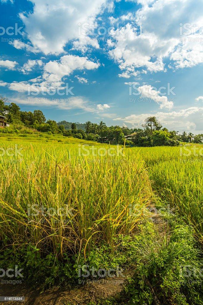 Baan Pa Bond Piang rice terrace - Chiangmai, Thailand royalty-free stock photo