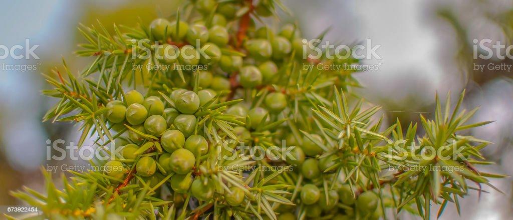 Babes juniper stock photo