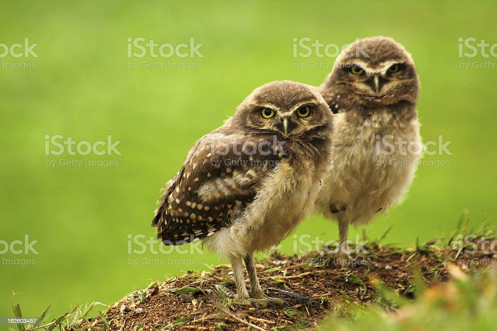 Babies Burrowing Owls stock photo